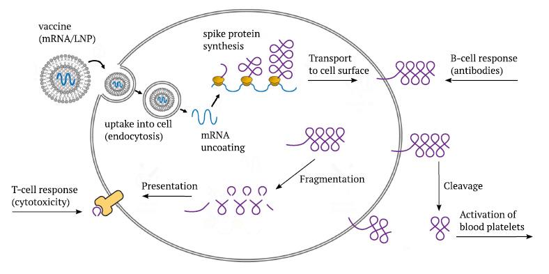 Farmacocinética y toxicidad de la inyección de ARNm de Pfizer